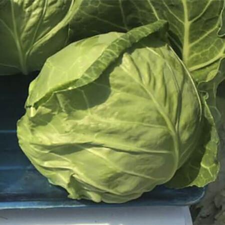 Семена капусты б/к Рапидион F1 Seminis 2 500 шт, Фасовка: Проф упаковка 2 500 шт