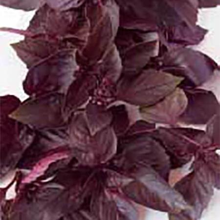 Семена базилика Ред Рубин Sais от 50 г, Фасовка: Проф упаковка 50 г