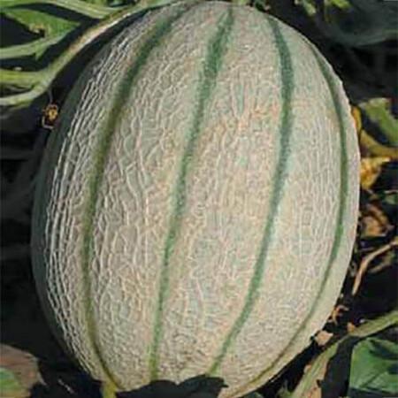 Семена дыни Ортолани Hortus от 50 г, Фасовка: Проф упаковка 50 г