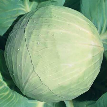 Насіння капусти б/к Білосніжка Hortus від 100 г, Фасовка: Проф упаковка 100 г