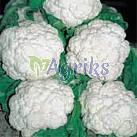 Семена капусты цветной Палла ди Неве Sais от 10 г, Фасовка: Проф упаковка 10 г