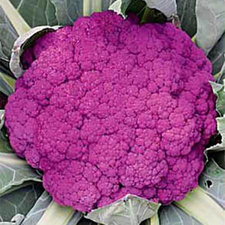 Семена капусты цветной Пурпурная сицилийская Hortus 500 г, Фасовка: Проф упаковка 500 г