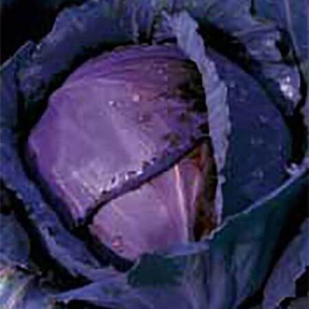 Семена капусты к/к Лангедейкер Дауер Satimex от 100 г, Фасовка: Проф упаковка 100 г