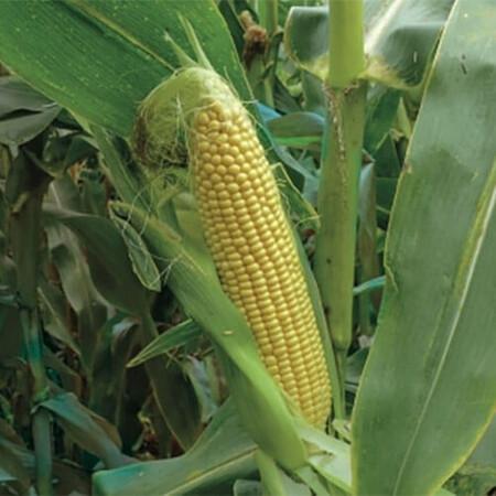 Семена кукурузы сахарной 3517 F1 Lark Seeds 25 000 шт