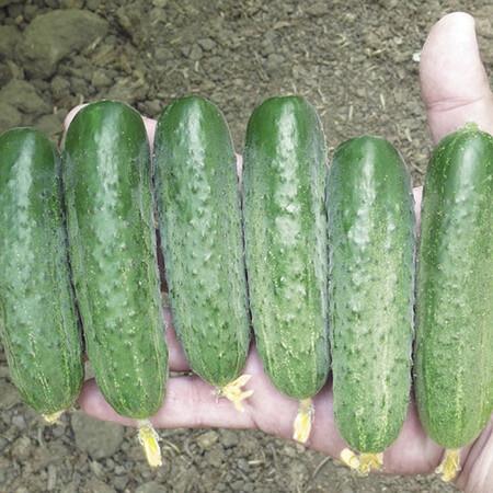 Семена огурца Стингер F1 Lark Seeds 250 шт, Фасовка: Проф упаковка 250 шт