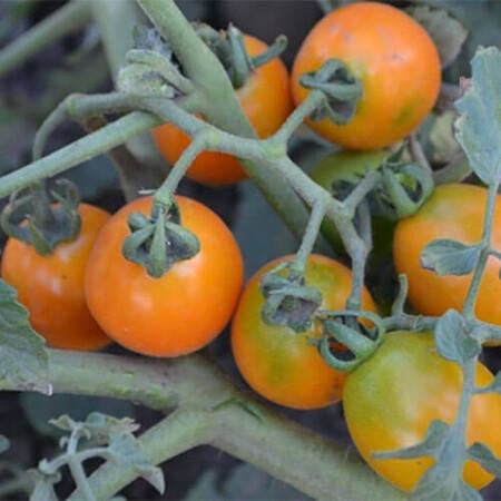 Семена томата детерминантного Оранж Олив F1 Lark Seeds 1 000 шт, Фасовка: Проф упаковка 1 000 шт