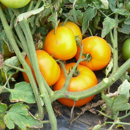 Семена томата детерминантного Свит Сан F1 Lark Seeds от 500 шт, Фасовка: Проф упаковка 500 шт