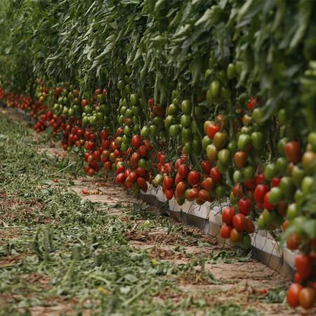 Насіння томату індетермінантного Ельза F1 Lark Seeds від 250 шт, Фасовка: Проф упаковка 250 шт