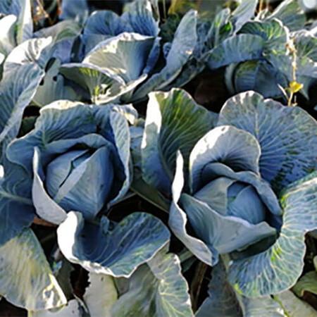 Семена капусты б/к Алекса F1 Solare Sementi 2 500 шт, Фасовка: Проф упаковка 2 500 шт