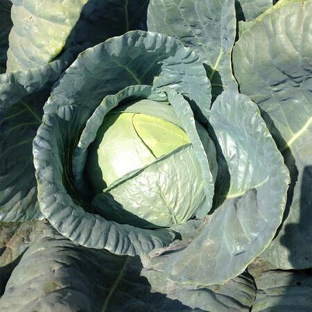 Насіння капусти б/к Баланс F1 Lark Seeds 2 500 шт, Фасовка: Проф упаковка 2 500 шт