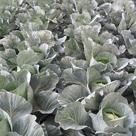 Семена капусты б/к Бигестор F1 Solare Sementi 2 500 шт, Фасовка: Проф упаковка 2 500 шт