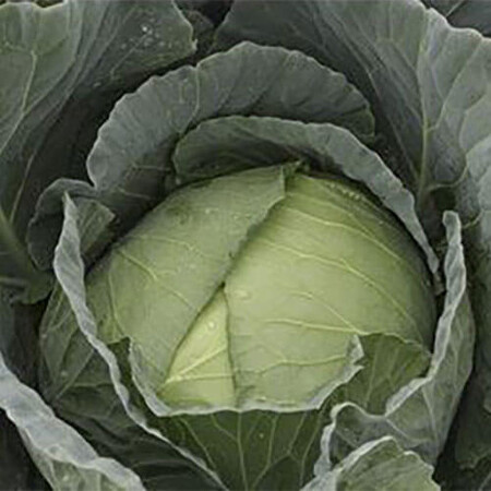 Семена капусты б/к Мавунор F1 Syngenta 2 500 шт, Фасовка: Проф упаковка 2 500 шт