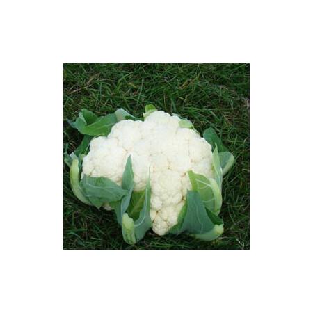 Насіння капусти цвітної Кабрал F1 Syngenta від 20 шт, Фасовка: Міні упаковка 20 шт