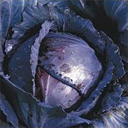 Семена капусты к/к Лангесвит Ред Satimex от 100 г, Фасовка: Проф упаковка 100 г