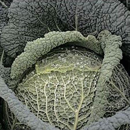Насіння капусти савойської Віратоба F1 Syngenta 2 500 шт, Фасовка: Проф упаковка 2 500 шт