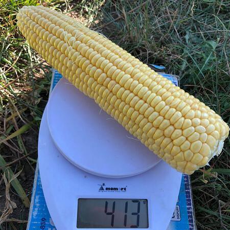 Насіння кукурудзи 1805 F1 Lark Seeds 2 500 шт, Фасовка: Проф упаковка 2 500 шт