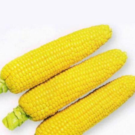 Семена кукурузы сахарной 1801 F1 Lark Seeds 25 000 шт, Фасовка: Проф упаковка 25 000 шт