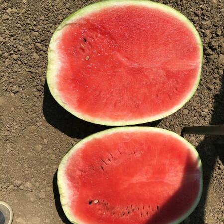Семена арбуза Епика F1 Clause 1 000 шт