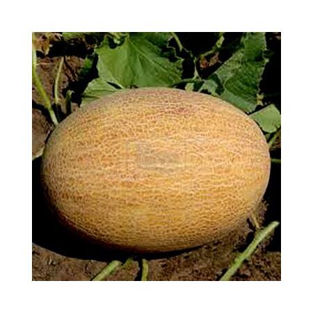Семена дыни ТС 18-1020 F1 Solare Sementi 500 шт