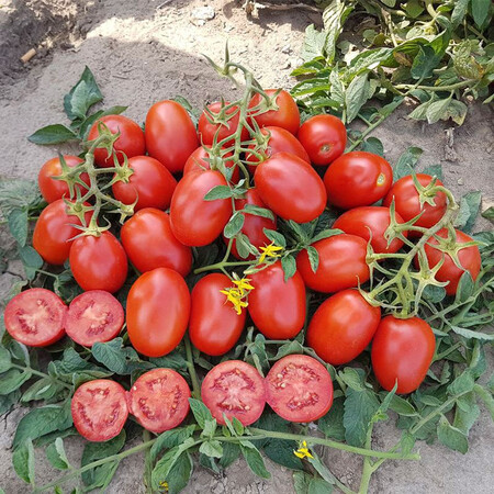 Насіння томату детермінантного 9905 F1 Lark Seeds 5 000 шт