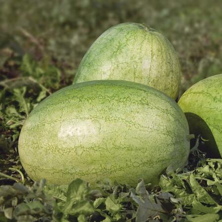 Семена арбуза КС 1819 F1 Kitano Seeds от 100 шт, Фасовка: Проф упаковка 100 шт